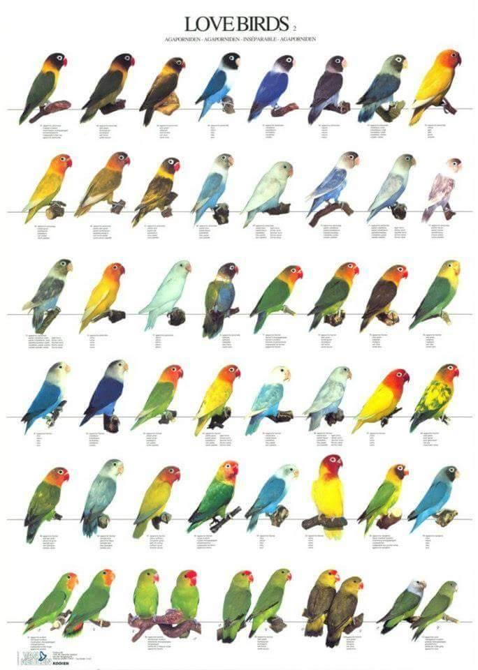 Vogelposter Lovebirds 2 Pfirsich Uschwarzköpfchen Vogelposter Im